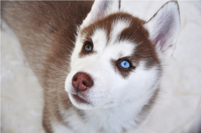 Image Result For Pictures Of Siberian Huskies