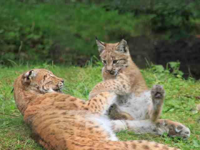 luchse und wildkatzen bekommen im wildpark gr nau ein gr eres zuhause aktuelles. Black Bedroom Furniture Sets. Home Design Ideas