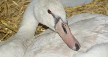 Assisi-Hof-Tierrettung rettet entkräfteten Schwan am Attersee