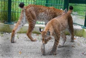Hansaton übernimmt Patenschaft für zwei Luchse im Wildpark Grünau