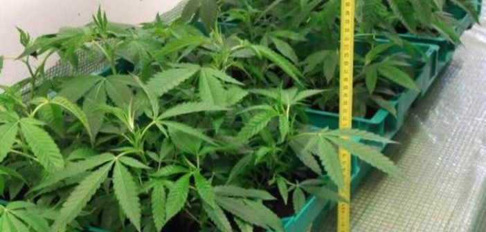 Cannabis-Indoorplantage sichergestellt