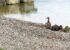 Uferrückbau als Vorbild für Naturschutzmaßnahmen am Mondsee